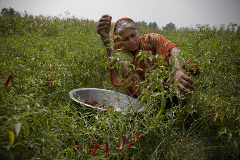 Amina Begum, 55, picks chillies in her field on Gabgachi char (river island), Gaibandha, northern Bangladesh. Amina has received training on growing, sorting and picking chillies, so she can earn a better income and cope with regular floods. As a result of the training, she is taking a lead role in her community - she is now vice president of the local chilli traders' group, and a vocal member of the local community organisation which helps to run the village. Amina is now growing twice as much chilli and earning more money to feed her family of nine, including sons, daughters-in-law, and five grandchildren. She says âSKS [Oxfamâs partner] helped us a lot. The main thing is that they helped us know how to grow more chillies â what fertiliser we should use, how much pesticides we should use, and how much water we should use. Itâs a lot better than for us now. Before, we worked really hard but didnât get many chillies from our plants. But now weâre growing more chillies, and theyâre better quality.'