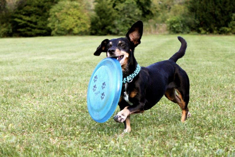 A Dachshund dog playing with a blue frisbee