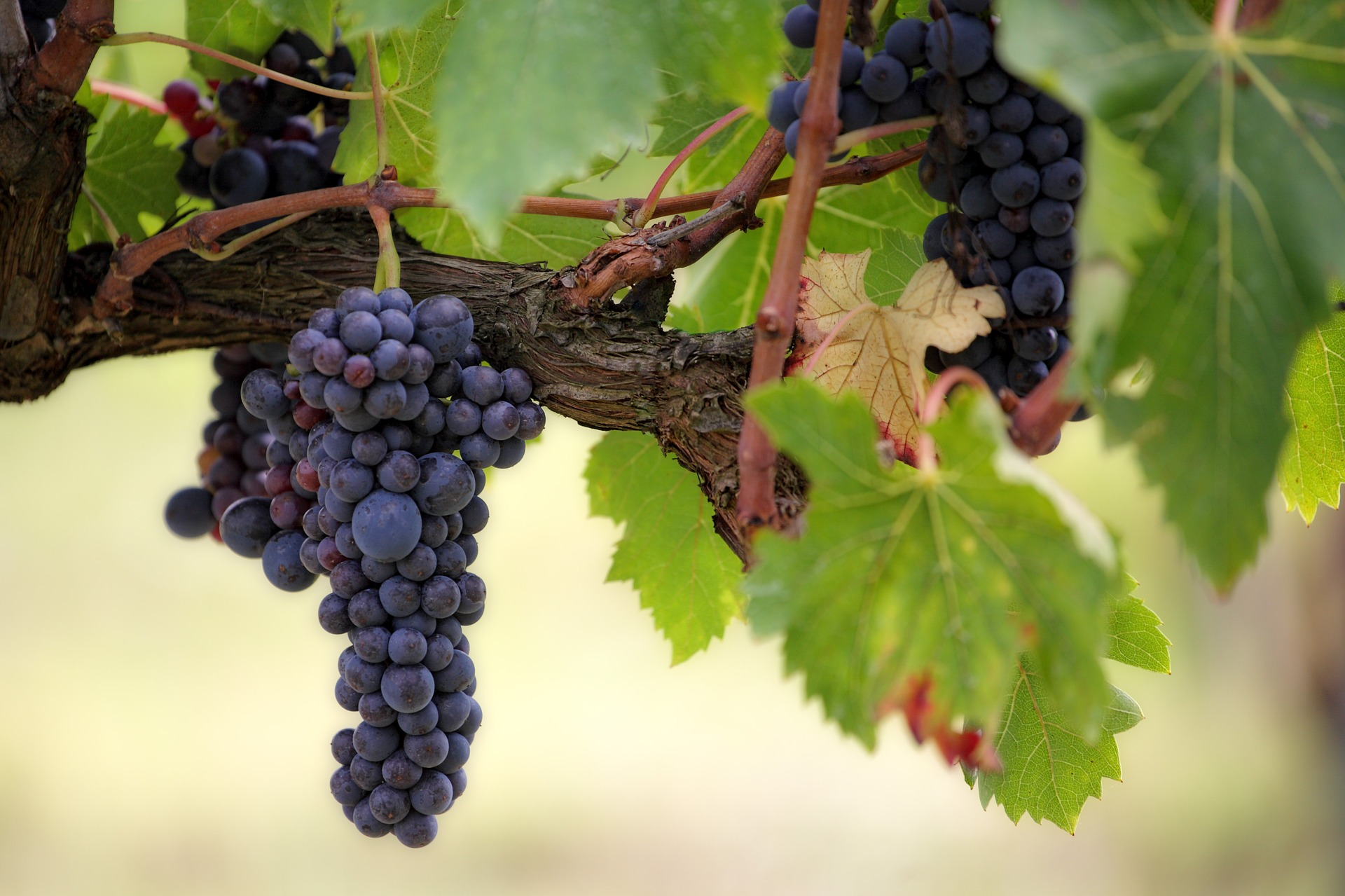 Grapes on the vine - a great store cupboard kitchen essential