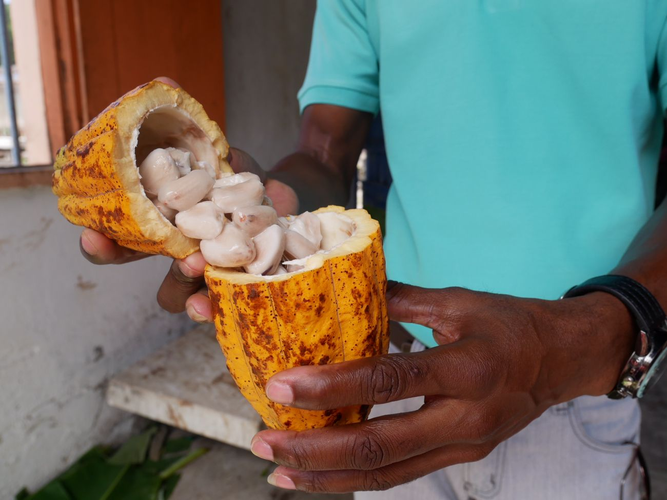 Tasting cacao beans fresh from the pod at Belmont Estate, Grenada