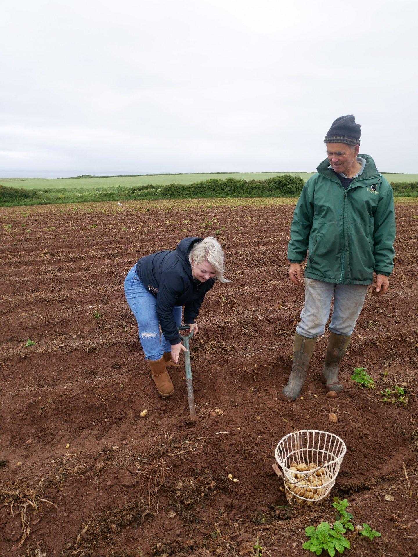 Digging up Pembrokeshire Early potatoes at Windmill Farm