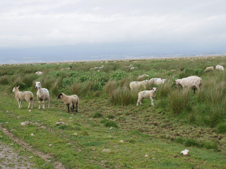 Gower Salt Marsh Lamb grazing near the Gower coastline in South-West Wales