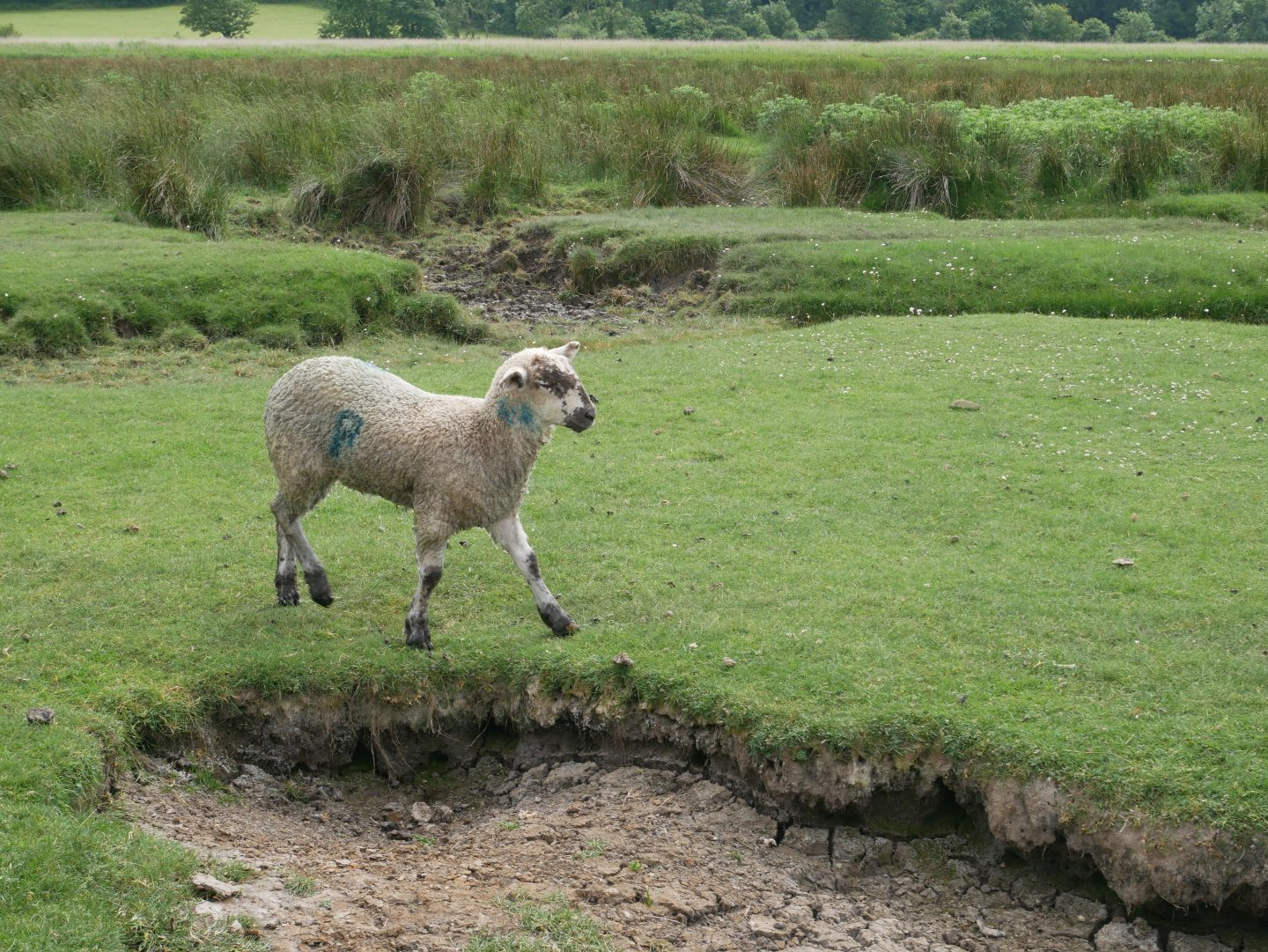 A Gower Salt Marsh Lamb, stamped so its origin can be traced.